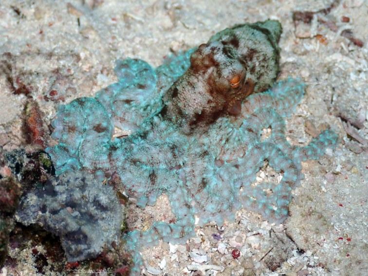 Octopus - Raja Ampat (Indonesia)